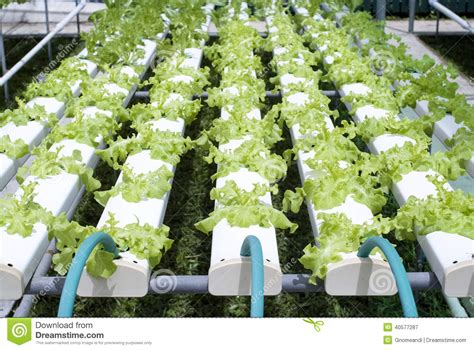 Hydroponic Vegetable Gardening Stock Photo Image 40577287 Hydroponic Vegetable Gardening
