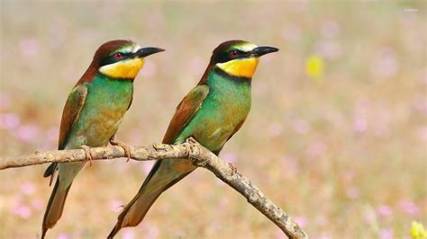 two colorful birds on a branch wallpaper animal