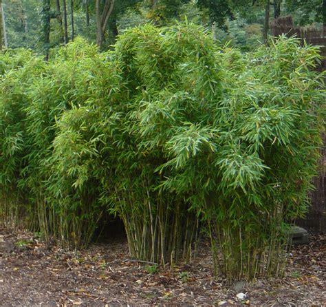 winterharte pflanzen garten 864 bambus simba fargesia murielae simba