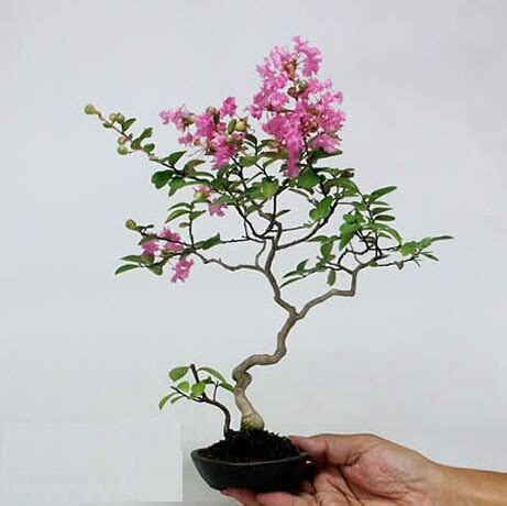 bonsai 10 seeds live flowering house plant indoor garden aliexpress com buy 100 lots seeds mini bonsai flower