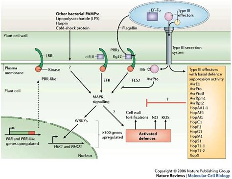 pattern recognition receptor kinases figure 2 bacterial elicitation and evasion of plant