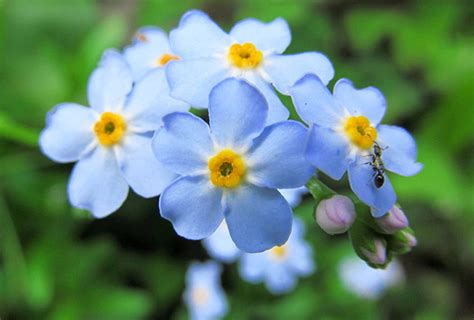 Benih Bunga Forget Me Not Flower Myosotis Alpestris Sea Sky Blue with the meaning of forget me nots 7 flowers about