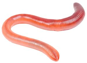 does my worms faqs wormlovers