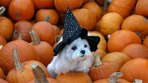 puppy and pumpkin chihuahua screensavers and wallpaper images
