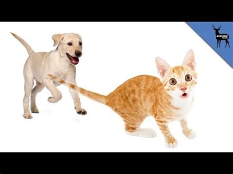 why do dogs cats chases cat funnydog tv