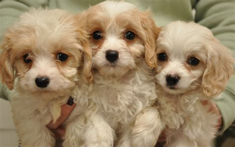 cavapoo puppies cavapoo puppies gosport hshire pets4homes