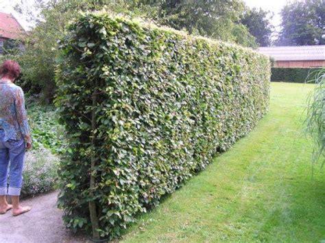 Schmale Beete Vor Hecke Und Mauer Bepflanzen by Hainbuchen Carpinus Betulus Heckenpflanzen Kaufen In