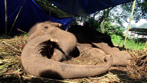 Terpal Gajah Dunia gajah yani diduga mati karena radang paru paru tekno
