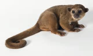 amanda s brainworks kinkajou more like kinka cute