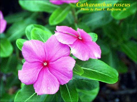 plant id flowers and foliage pothos florida master flowering vascular plants flowers ideas for review