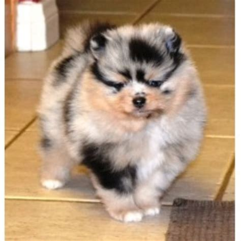 pomeranian puppies california pomeranian breeders in california freedoglistings