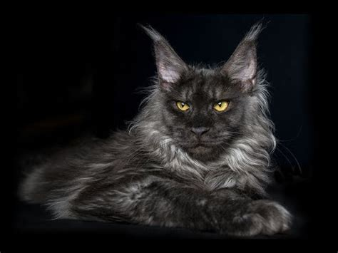 Pictures Of Black Smoke Maine Coon Cats   YouTube