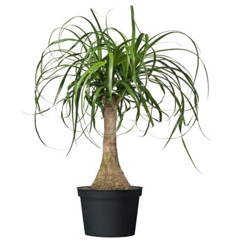 ikea burlington trees pflegeleichte zimmerpflanze der elefantenfu 223 als coole