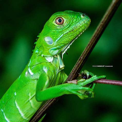 imagenes de iguanas rojas imagenes de iguana verde