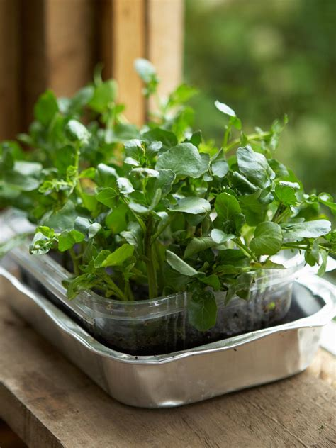 how to a grown how to grow a watercress container garden hgtv