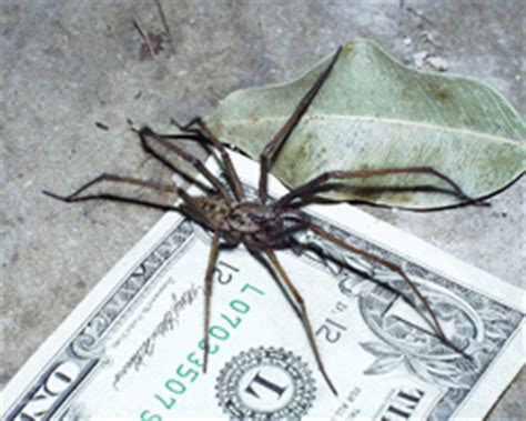 giant house spider seattle willard s pest control seattle giant house spider extermination in kirkland everett