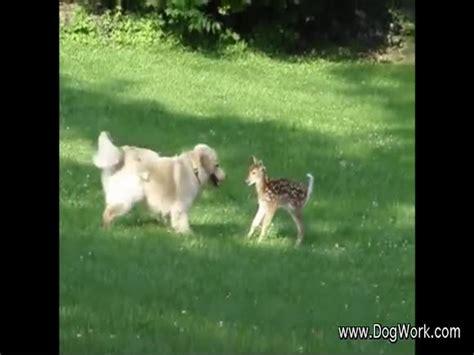 golden retriever saves deer a golden retriever and a fawn become friends