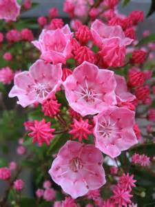 tiddlywinks dwarf mountain laurel flowers make me happy pinterest colors we and side a