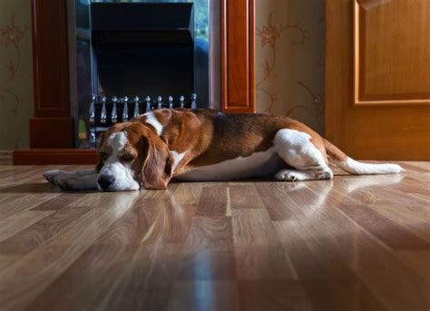 urine in dogs crystals in the urine of dogs petmd