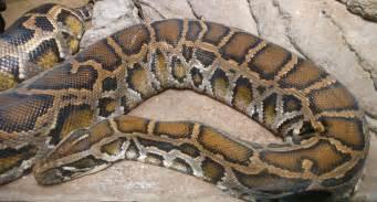 python bivittatus wikiwand