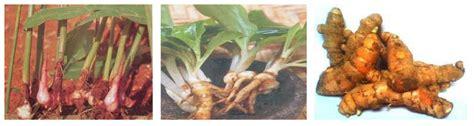 ciri ciri akar tinggal tunggal  tumbuhhan dunia