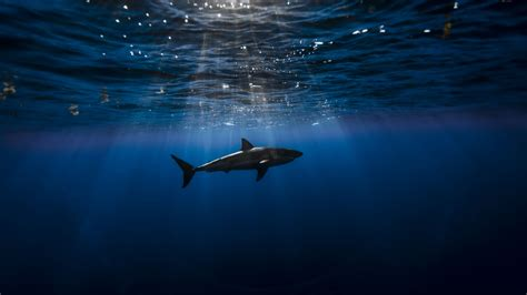 wallpaper shark atlantic ocean underwater  diving