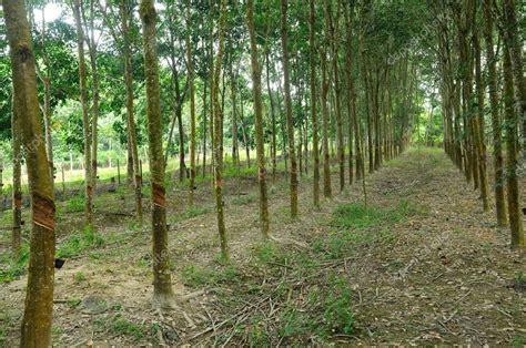 tree rubber st マラッカ マレーシアのゴム製木または hevea brasiliensis プランテーション ストック写真 169
