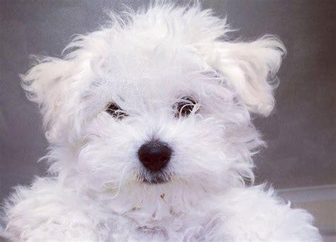 cani di piccola taglia per appartamento cani da appartamento di piccola taglia idee green