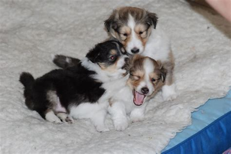 shetland sheepdog puppies for sale stunning boy loughborough leicestershire pets4homes