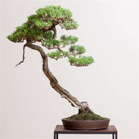 here s a thought bonsai you cut that and you lose the soul of the tree bonsai bark