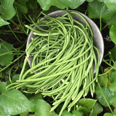 growing beans   garden growing   garden