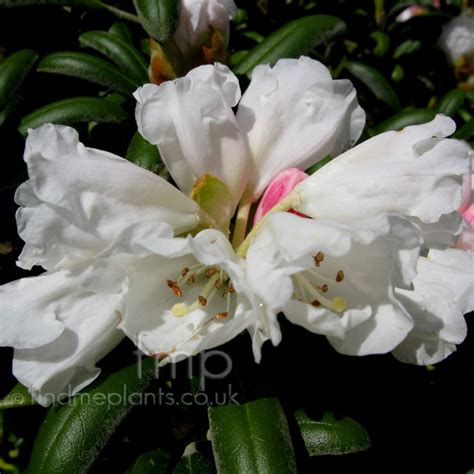 Net Name Search Florida A Large Image Of Rhododendron Schneekissen Fl From Plant Encyclopedia