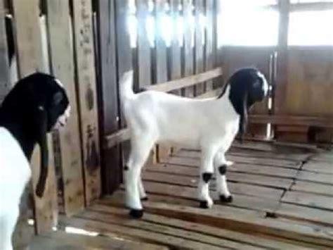 Kambing Etawa Why kambing etawa betina umur 3 minggu