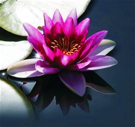 immagini fior di loto il fiore di loto cittadiluce it