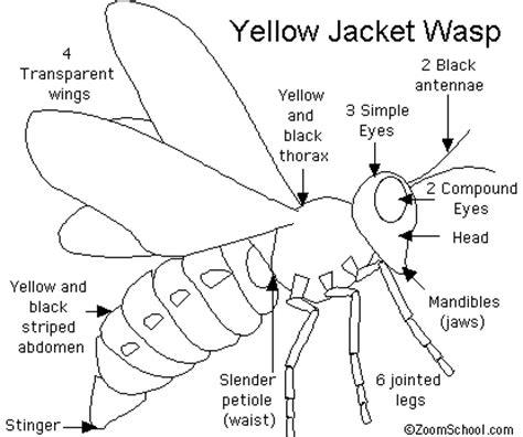 hornet cycle diagram diagram of wasp