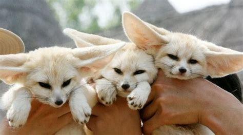 fennec fox endangered animals facts wildlife pictures