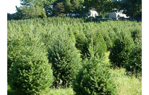 christmas tree needle retention types of trees broken arrow nursery