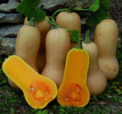 Waltham Butternut Squash Heirloom Seeds Pack of 10