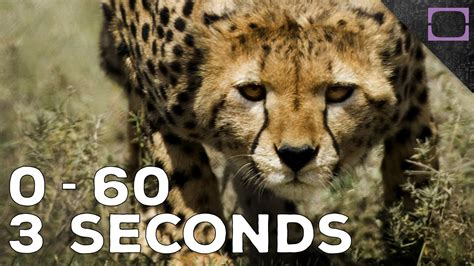 how fast is a how fast do cheetahs run