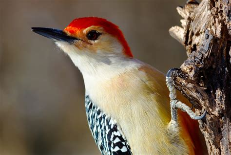 7 weird facts about woodpeckers audubon