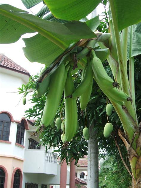Bibit Buah Di Bandung pohon pisang tanduk berkah khair