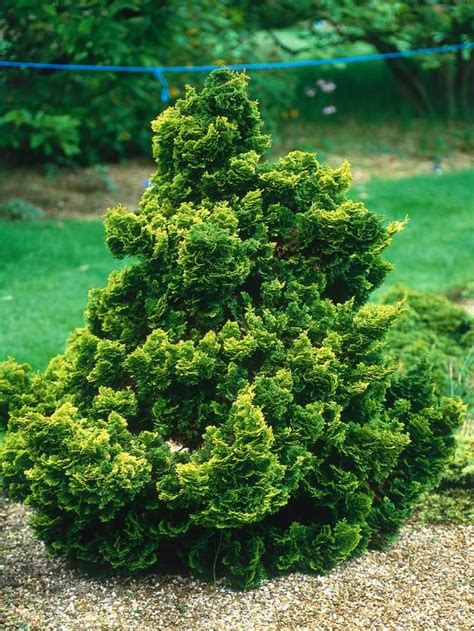 dwarf shrubs evergreen 206 best evergreens for small yards images on plants shrubs and cypress trees