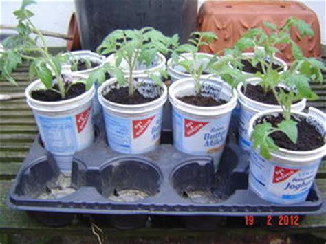 wann tomaten vorziehen gem 252 se vorziehen ab wann hausgarten net