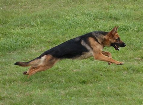 personal protection dogs for sale personal protection dogs for sale personal protection dogs