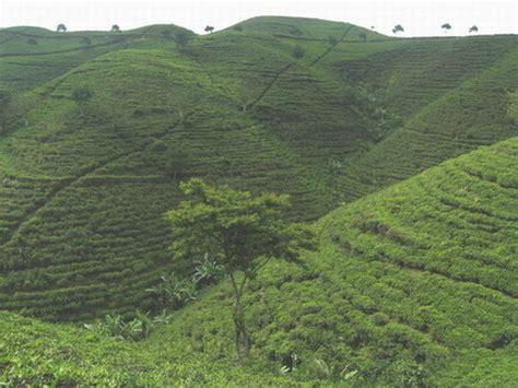 Teh Hijau Kemuning kebun teh kemuning