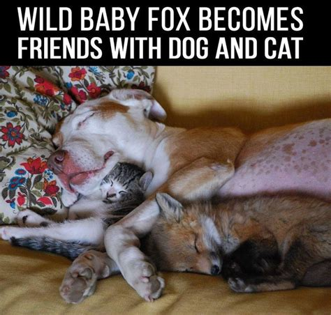 are foxes cats or dogs 618 best images about best friends on friendship puppys and kittens