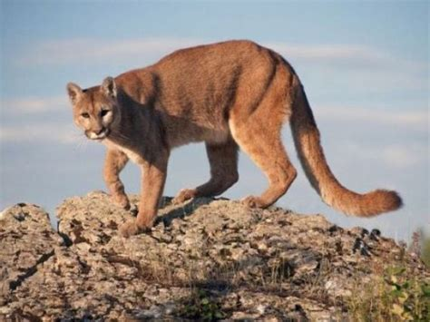 reset nvram mountain lion 107 california mountain lions killed by cars this year