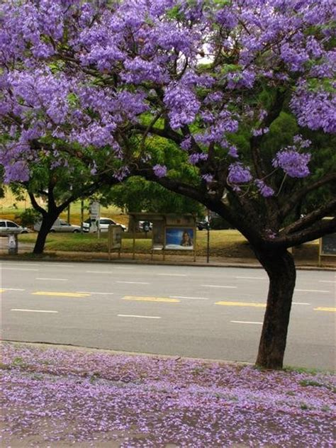 jacaranda trees and flowers photo