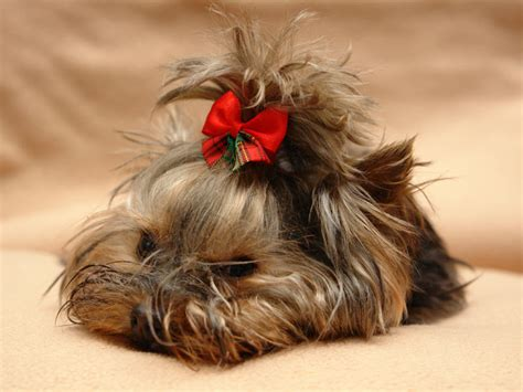 different type of yorkies yorkeys hair cuts hairstylegalleries