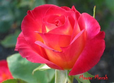 Merah Ros bunga mawar merah photos alam mentari
